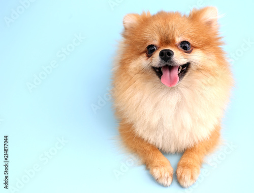 Pomeranian dog with blue backdrop.