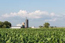 Soybeans Growing In A Field Wi...
