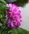flower dahlias. close-up. nature. flowers.