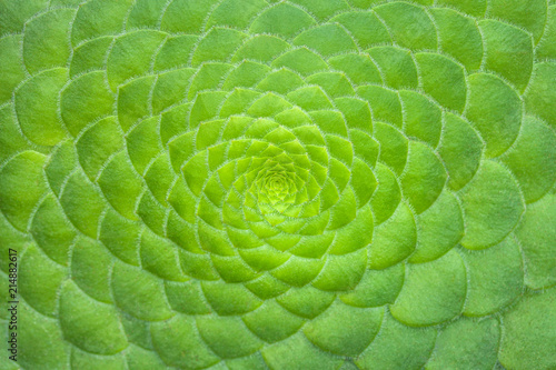 Poster Spirale Symmetric green background of cactus succulent plants, close-up.