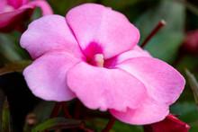 Pink New Guinea Impatiens Flow...