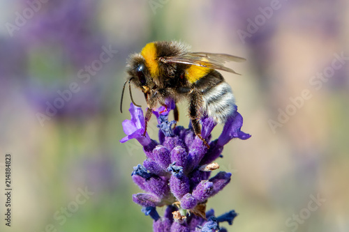 Photo  bee on violet lavender