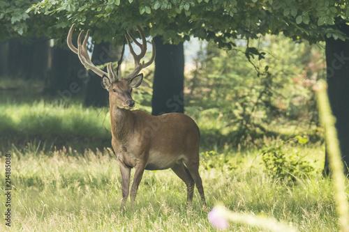 Tuinposter Hert Deer, Red Deer