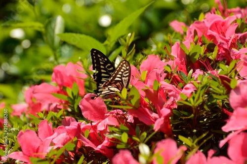 ピンク色のツツジの花にアゲハ蝶