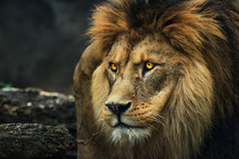 Portrait Of A Lion From A Prof...