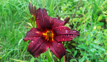 Close-up. Large Purple Flower ...