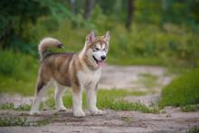 Beautiful Puppy Alaskan Malamu...