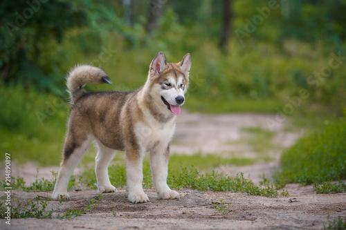 Beautiful puppy Alaskan Malamute on a background of nature. Canvas Print