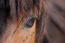 Many Flies Fly On Horse Eye