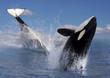 canvas print picture - Zwei Schwertwale  (Orcinus orca), Killerwale im Sprung