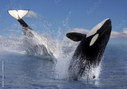 Zwei Schwertwale  (Orcinus orca), Killerwale im Sprung Wallpaper Mural