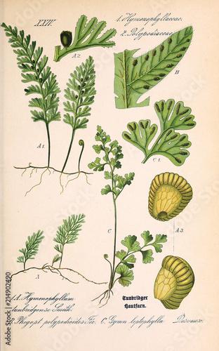 Plakaty botaniczne illustration-of-plant