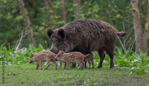 Fototapeta Young wild Boar family obraz
