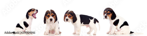 Carta da parati Four beautiful beagle puppies
