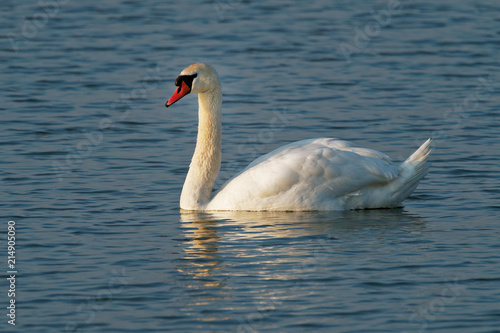 Fotobehang Zwaan Mute Swan (Cygnus olor) swimming in the lake, Europe