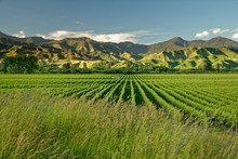 Vineyard, Winery New Zealand, ...