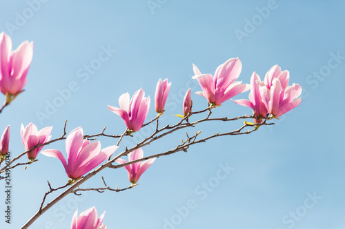 Foto op Aluminium Magnolia Pink magnolia flowers bloom in spring on blue sky background.