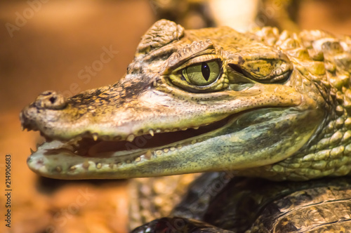 Close up on the head of a caiman