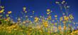 Hahnenfuß oder Ranunkel, (Ranunculus) Blüten, Panorama