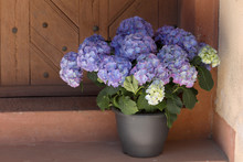 Hortensien (Hydrangea) Im Blumentopf