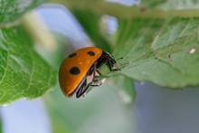 Ladybug Crawling On A Leaf