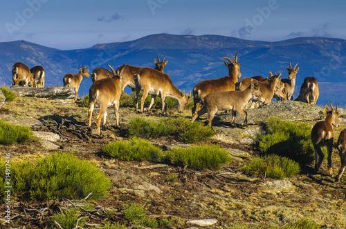 Tablou Canvas Ibex (capra hispanica) group, females