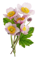 A Small Bouquet Of Wild Field Pink Flowers With A Lush Ring Of Yellow Stamens