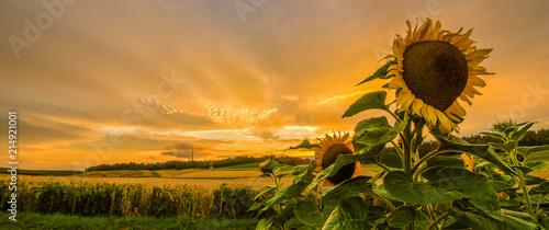 Sonnenuntergang Sonnenblumenfeld