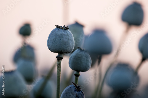 Poppy plants, Papaver somniferum, seed vessel, in the evening light