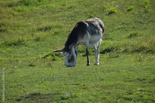 Photo  Donkey in meadow