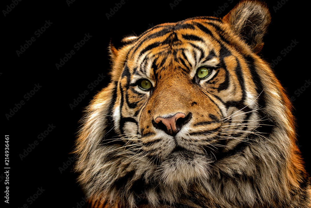 Portrait tiger on the black background