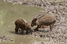 Junge Wildschweine Im Wasser (Sus Scrofa)