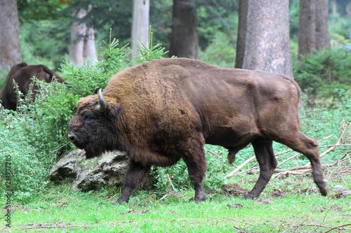 Foto op Canvas Bison Wisent oder Europäische Bison (Bos bonasus) im Wald