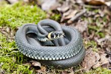 Ringed Grass Snake Natrix In Spring Forest