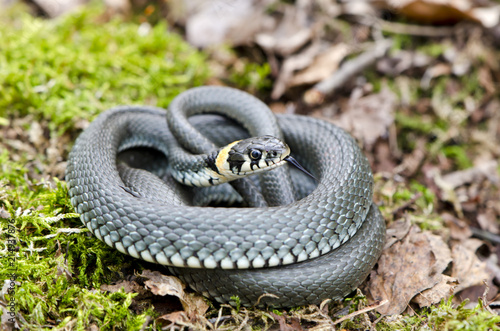 Cuadros en Lienzo Ringed grass snake Natrix in spring forest