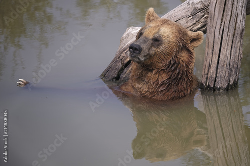 Foto  Ours brun d'Eourope à la baignade