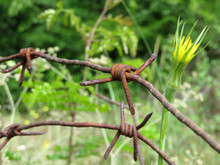 Rusty Barbed Wire On A Backgro...