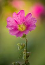 Fleur Seule Hibiscus Rose Sur Fonds Vert En été Dans Un Jardin