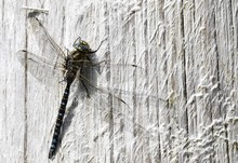 Closeup Of A Large Dragonfly R...