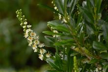 Kirschlorbeer; Lorbeerkirsche; Prunus Laurocerasus