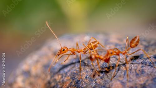 Obraz na płótnie Red Ants Group