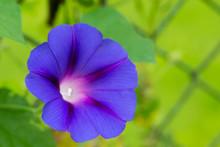 Blue Bindweed Flower Macro