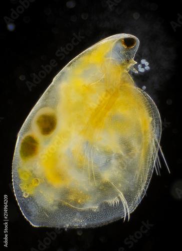Freshwater Water Flea Simocephalus Vetulus With Eggs Buy This