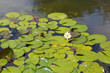 canvas print picture - White lotus with yellow pollen on surface of pond
