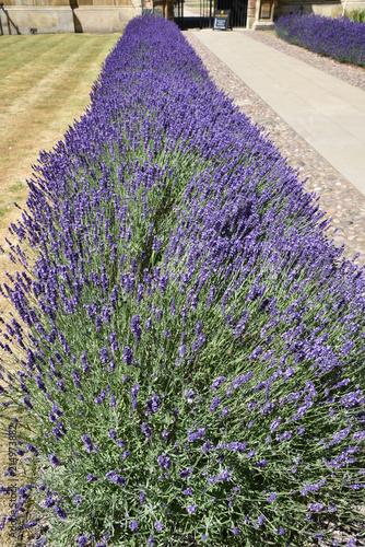 Tuinposter Lavendel Allée de lavande