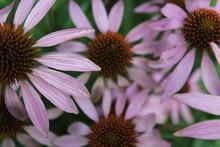 Echinacea, Medicinal Herbs, Ec...