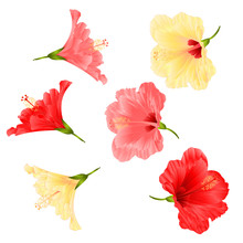 Flowers Tropical Plant  Hibisc...