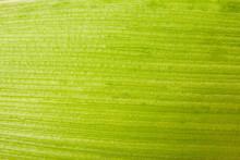 Corn Leaf Close Up