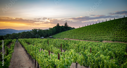 Poster Vineyard Wine grape vineyard at sunset