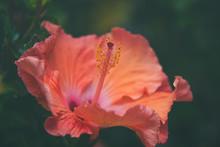 Orange Hibiscus Flower Close Up